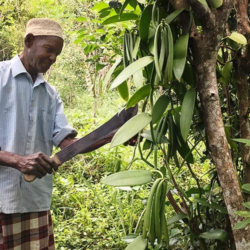 Bauer auf Pemba mit natürlich reifender Vanilleschote