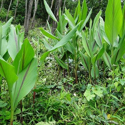 Würzen mit Kurkumapulver aus der Natur in Nepal