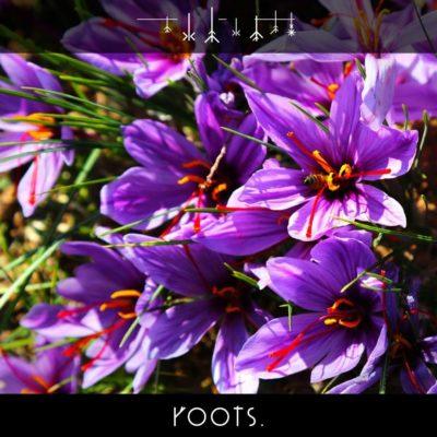Safranblüte in der Natur kurz vor der Ernte