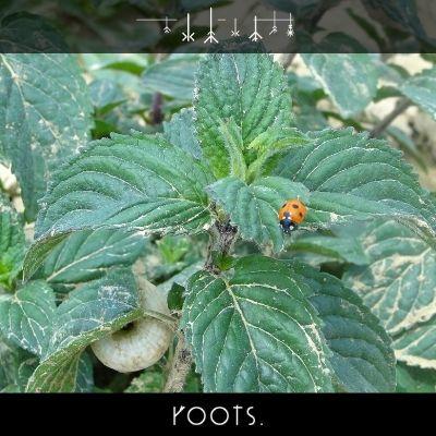 Bio Pfefferminze von roots. natural für die Gesundheit