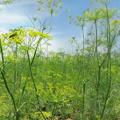 Dillspitzen von roots. aus Dillfeld in der Natur mit Biene