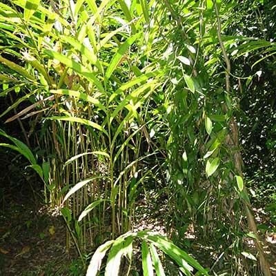 Grüner Kardamom von roots. natural in der Natur