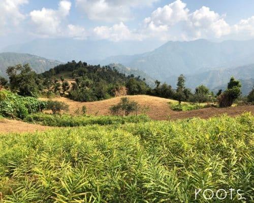 Gewuerze fuer Gastronomie Ingwer aus dem Himalaya