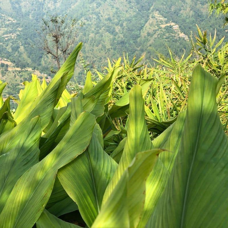 Kurkuma Pflanze fuer frisches Kurkumapulver von roots